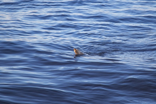 Alex the Seal comes to Bondi Beach by @hotndelicious