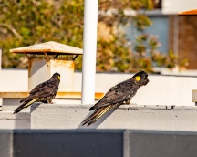 Yellow-tailed black cockatoos by @hotndelicious. Bondi Beach, Sydney, Australia. Prints available on request. info@hotndelicious.com